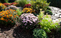 a fall garden with assorted hardy mums in full bloom
